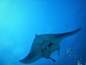 mantaray scubadiving Maldives